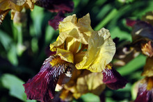 Yellow And Purple Iris Flower Blooming, Blurry Green Leaves Horizontal Background