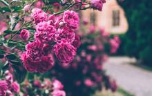 Blossoming Bush Of A Rose. Summer English Garden