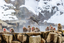 Troop Of Macaques In Hot Sprin...