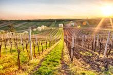Rows Of Vineyards In Spring. W...