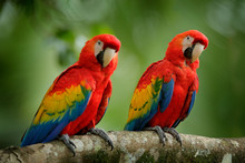 Pair Of Big Parrots Scarlet Macaw, Ara Macao, In Forest Habitat. Two Red Birds Sitting On Branch, Brazil. Wildlife Love Scene From Tropical Forest Nature.
