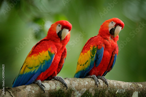 Autocollant pour porte Perroquets Pair of big parrots Scarlet Macaw, Ara macao, in forest habitat. Two red birds sitting on branch, Brazil. Wildlife love scene from tropical forest nature.