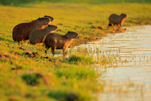Capybara, Family With Youngs, ...