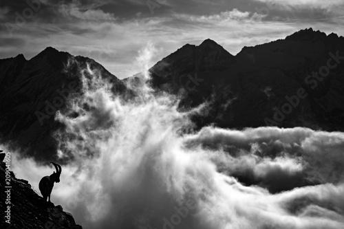 Fotografie, Tablou Alpine Ibex, Capra ibex, animals in nature rock habitat, France