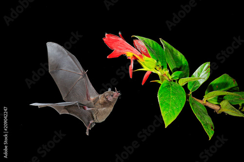 Night nature, Pallas's Long-Tongued Bat, Glossophaga soricina, flying bat in dark night. Nocturnal animal in flight with red feed flower. Wildlife action scene from tropic nature, Costa Rica.