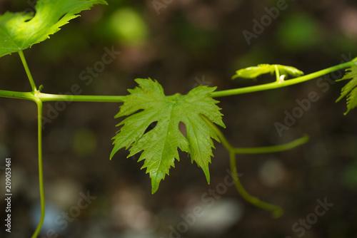 Photo baharda asma yaprağı