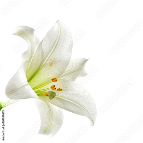 Foto op Plexiglas Magnolia Lily flower head white background