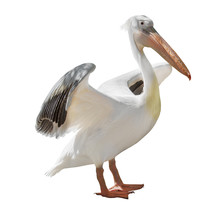 Large Pelican With Open Wings ...