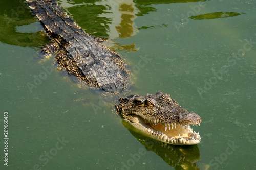 Fotobehang Krokodil Crocodile in the green coloured water in Thailand