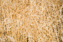 Golden Grass Field. Abstract Background And Texture