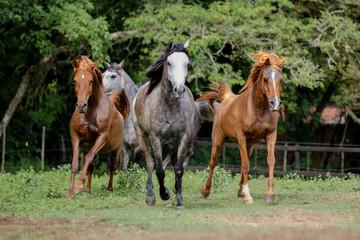Cavalo Árabe, Horse Arabian