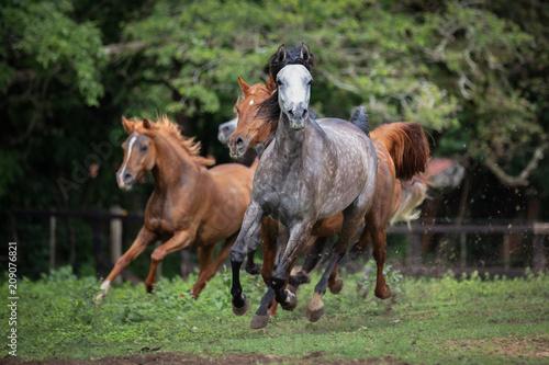 Fotografia Cavalo Árabe, Horse Arabian