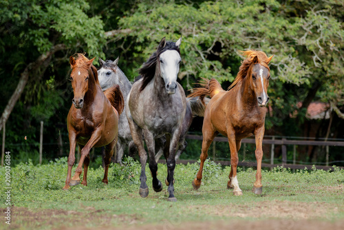 Fototapeta Cavalo Árabe, Horse Arabian obraz