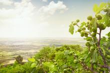 Fig Tree On Spain Landscape, C...