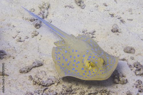 Blaupunkt Rochen im Meer in Ägypten beim Tauchen