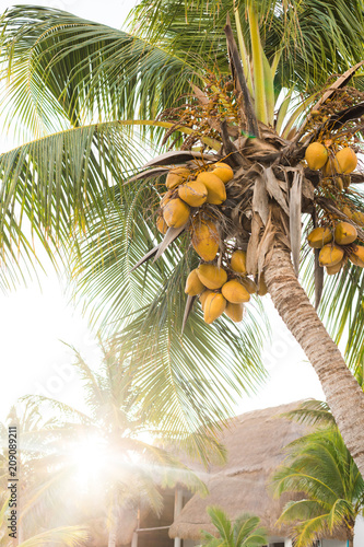 Palm with coconuts in back lit