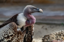 Vulture, Buzzard Looking At You