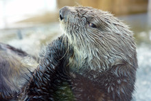 A Sea Otter With Wet Fur