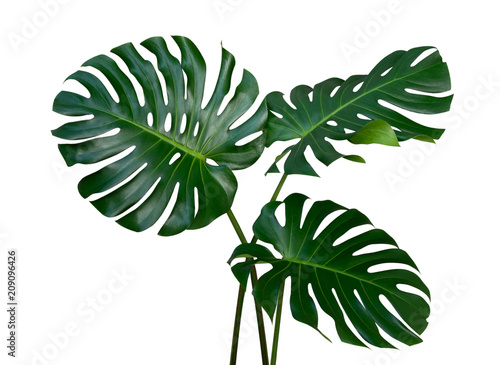 Obraz na plátne Monstera plant leaves, the tropical evergreen vine isolated on white background,