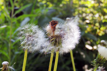Dandelions Close - Up