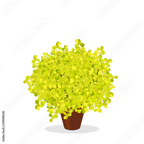 Lime Glow Japanese Barberry Trimmed Into A Ball Shape Decorative