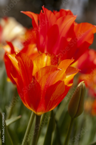 Beautiful springtime blooming tulips in the formal gardens on the Biltmore Estat Poster