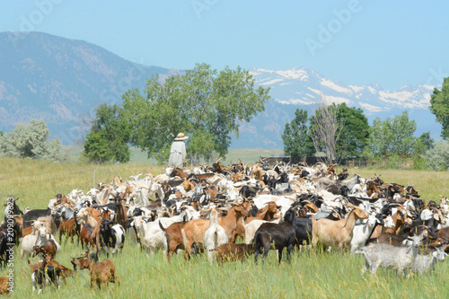 Tablou Canvas Unrecognizable goatherd herding goat herd in field below Rocky Mountains to prov