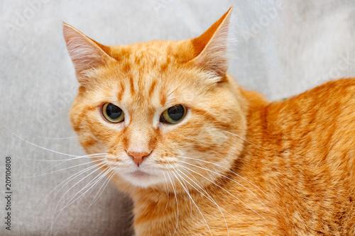 Keuken foto achterwand Kat Red cat close up looking straight towards camera.