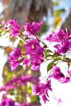 Bougainvillea Flowers Blooming...