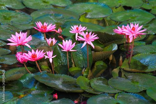 Deurstickers Waterlelies Beautiful pink lotus