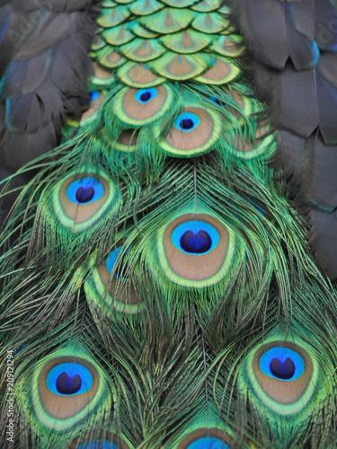 Foto op Aluminium Pauw Peacock Feathers in Detail