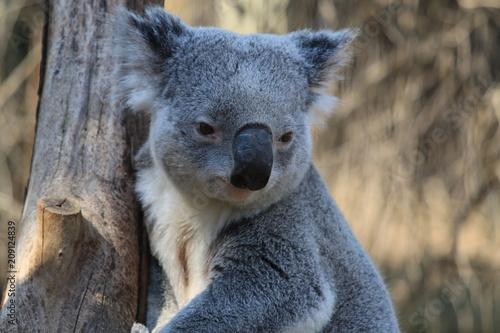 Keuken foto achterwand Koala cute interested koala on a tree