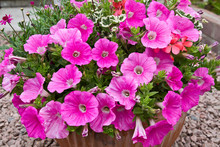 Large Petunia Flower In Container. Pink Petunia