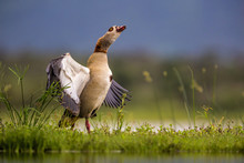 Egyptian Goose In Zimanga Private Game Reserve In South Africa