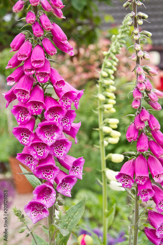 Pretty Pink Foxglove Flower Digitalis Buy This Stock Photo And
