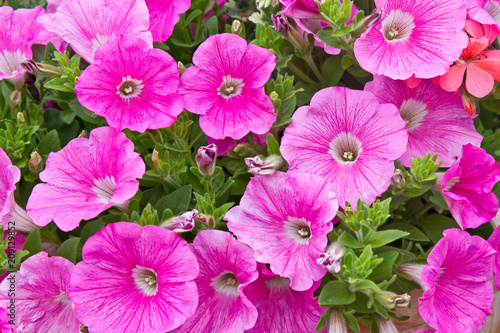 Foto op Canvas Azalea Pink petunia