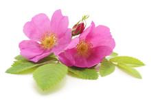 Pink Rose With Petals.