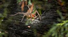 Labyrinth Spider Eating Grasshopper