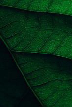 Avocado Leaf Macro Texture