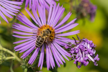 Bumblebee Collecting Pollen On New England Aster