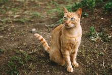 Ginger Cat Outdoor