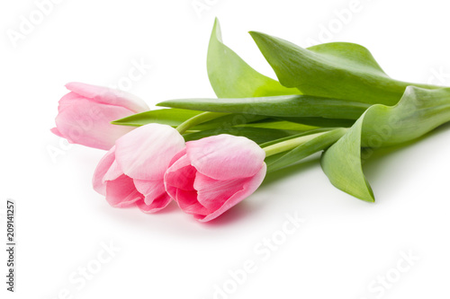 Spring flower pink tulips isolated on white background