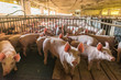 Pig farms in confinement mode