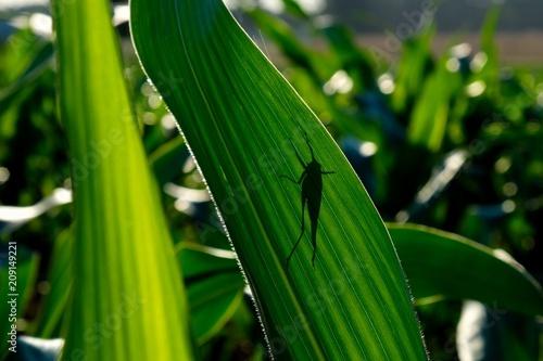 A grasshopper thinks its hideing behind the leaf of a cornstalk - Agriculture in Tapéta, Fotótapéta