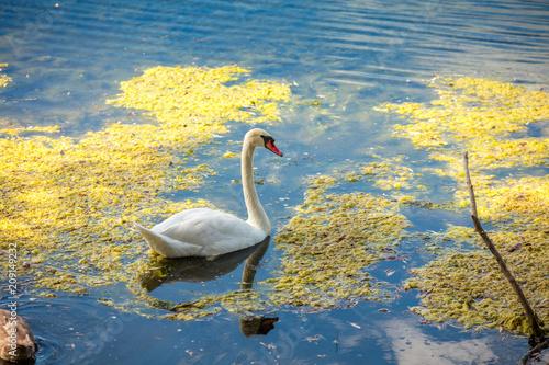 Foto op Plexiglas Zwaan Adult swan swimming at pond