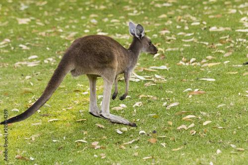 Spoed Foto op Canvas Kangoeroe Small kangaroo on grass