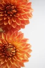 Close Up Of Two Vibrant Orange...