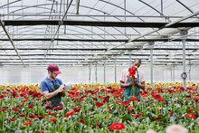 Florists Working Amidst Red Gerbera Daisies At Greenhouse