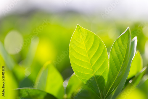 Spoed Foto op Canvas Natuur nature view of green leaf on blurred greenery background in garden,Green nature concept.