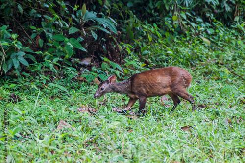 Obraz na plátně Red Brocket Deer in Cockscomb Basin Wildlife Sanctuary, Belize.